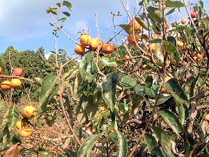 龍王山ハイキングコースの柿畑