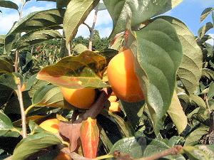 龍王山ハイキングコースの柿