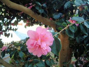 ピンクの花 長谷寺