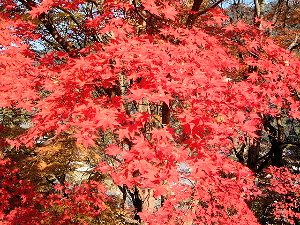 赤い紅葉 長谷寺