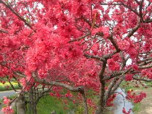 飛鳥川沿いの赤い花