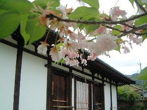 桜と本堂 新薬師寺