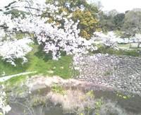 郡山城の桜