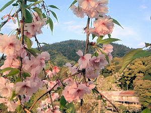三輪山と桜 夕暮れ時