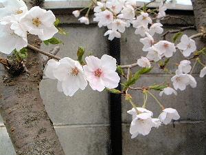 大正楼の桜