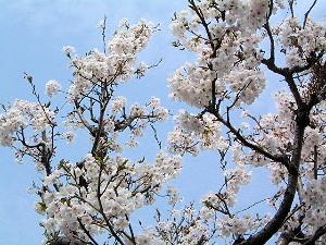 裏庭に咲く桜