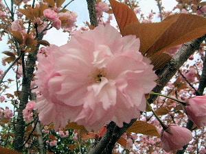 サトザクラ 里桜 さとざくら