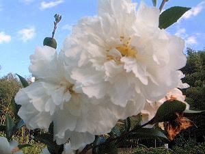 山茶花 サザンカ 冬の花