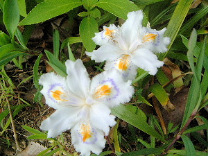 シャガ シャガの花