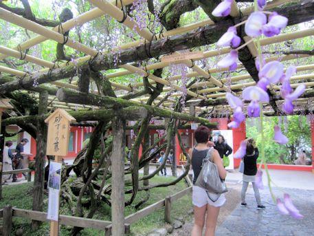 砂ずりの藤と外国人観光客