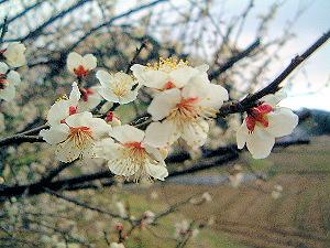 高松塚古墳壁画館周辺に咲く梅の花