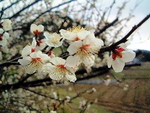 高松塚古墳に咲く梅