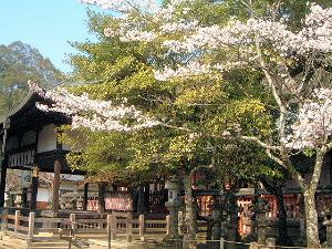 手向山八幡宮の桜