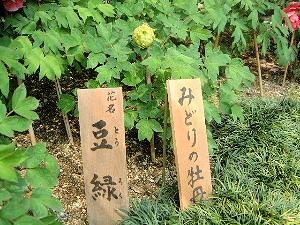緑色の牡丹 豆緑 長谷寺