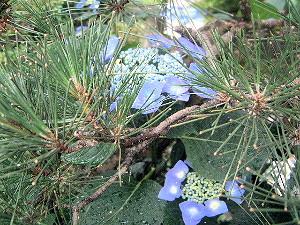 紫陽花と松