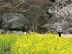 菜の花と石舞台古墳