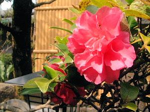 中庭に開花するツツジ
