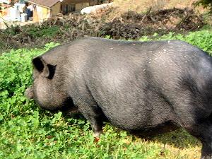 ミニ豚 うだアニマルパーク
