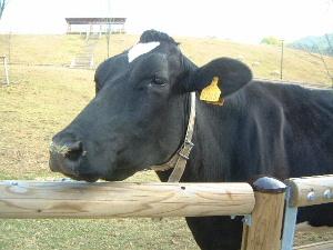 うだアニマルパークの乳牛