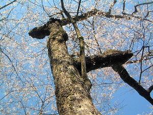 談山神社の薄墨桜
