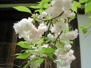 白い花 新薬師寺