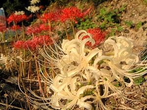 白と赤の彼岸花 明日香村