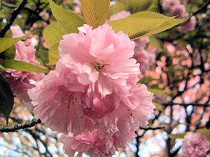 ヤエザクラ 八重桜
