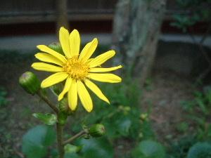 黄色い花 中庭